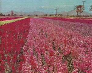 Japanese_Flower_Gardens_South_Phoenix_1960s